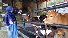 Menyusui anak sapi. Biayanya Rp 20.000,-